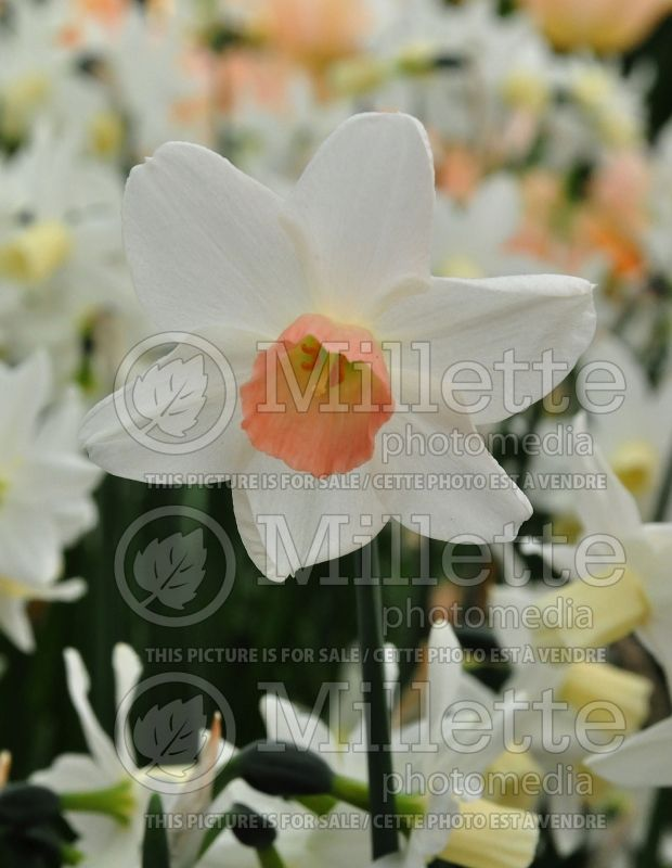 Narcissus Toto (Narcisses jonquille)  4