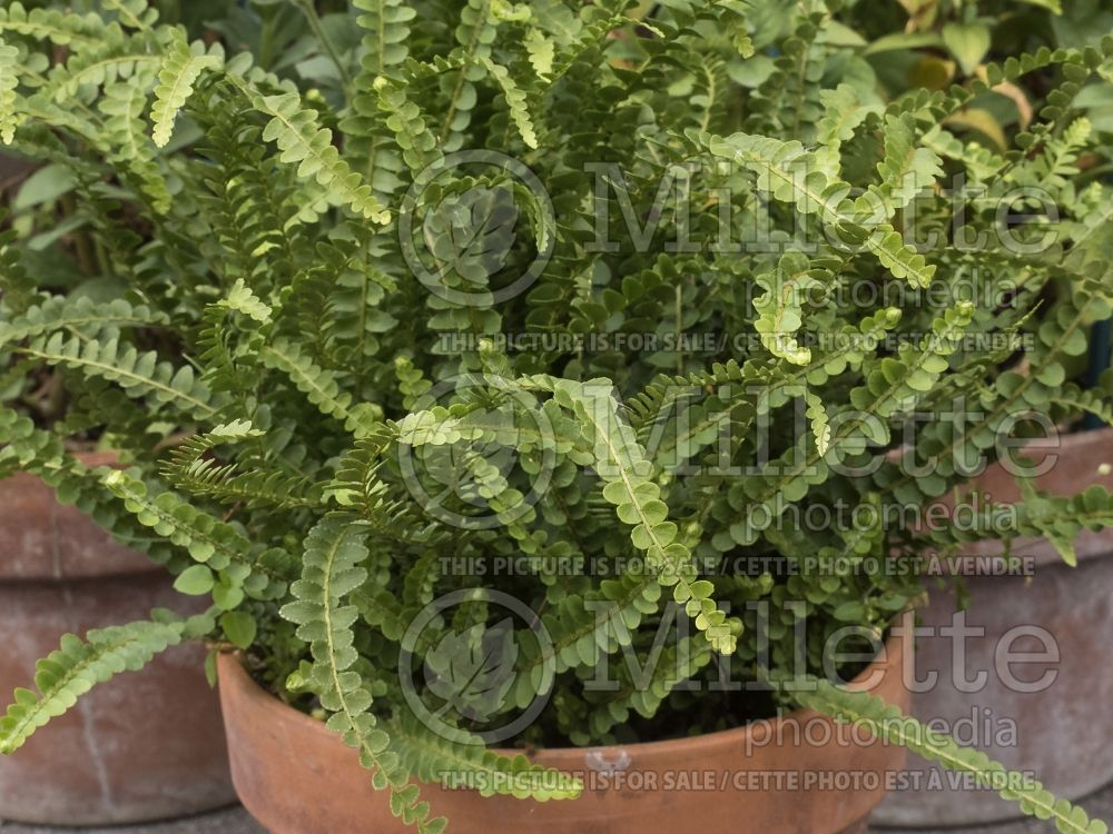 Nephrolepis Duffii (Lemon Button Fern, Giant Sword Fern) 2