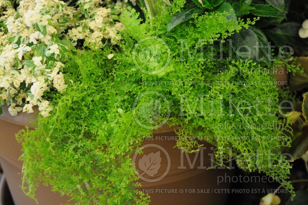 Nephrolepis Cotton Candy (Sword Boston fern) 1