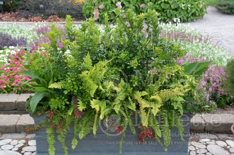 Nephrolepis Rita's Gold (Boston Fern) 4