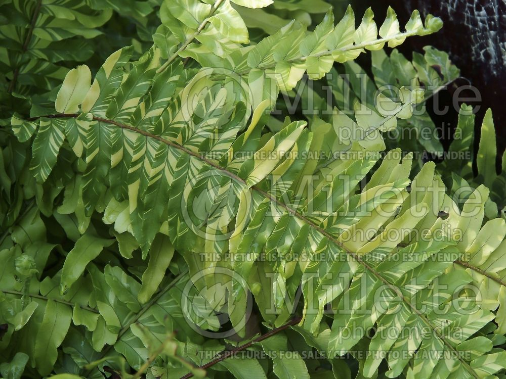 Nephrolepis Tiger Fern (Boston Fern) 5