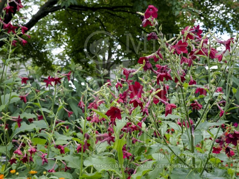 Nicotiana Nicki Red (Tobacco Plant) 2