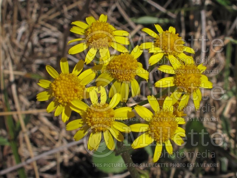 Packera obovata (roundleaf ragwort, roundleaf groundsel or squaw weed) 1