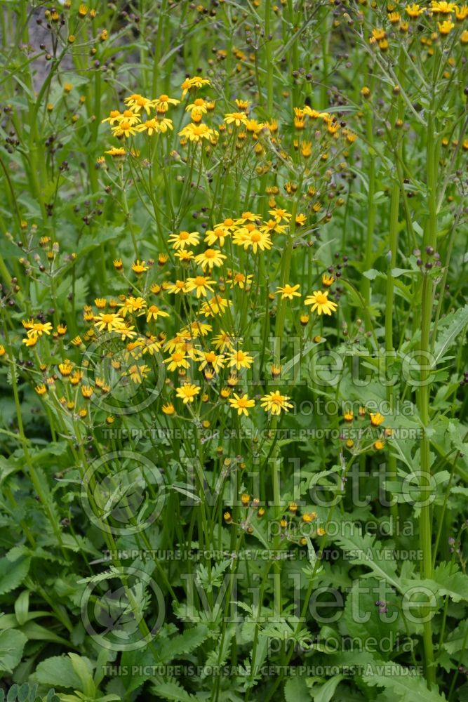 Packera obovata (roundleaf ragwort, roundleaf groundsel or squaw weed) 2