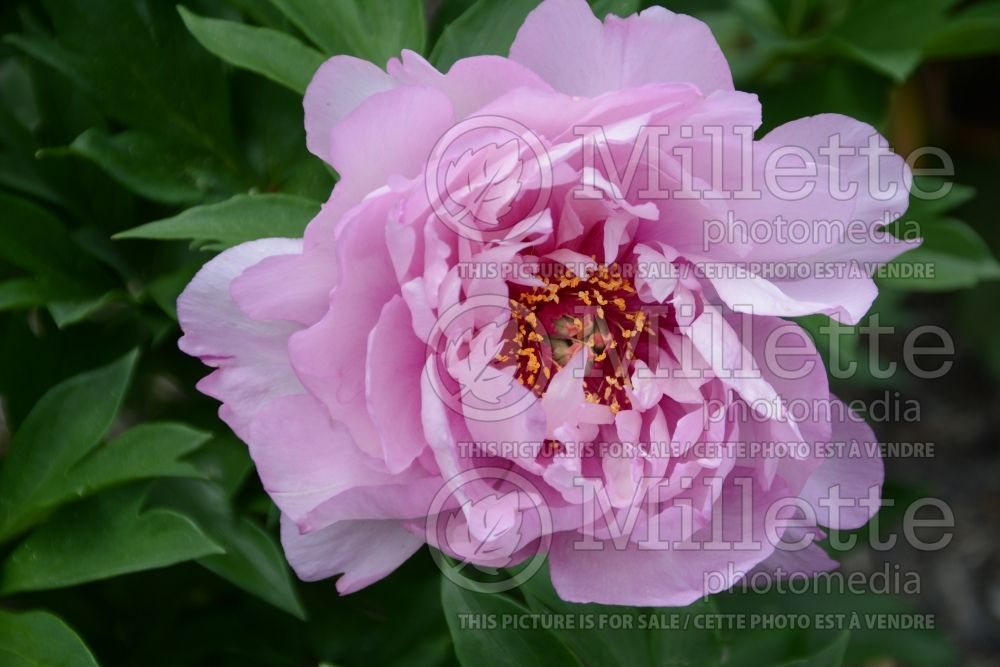 Paeonia First Arrival (Pivoine) 6