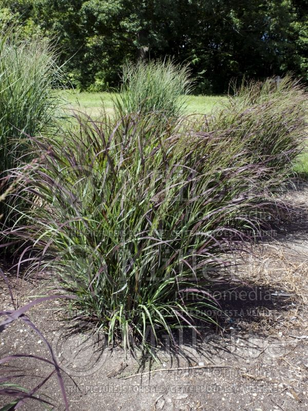Panicum Prairie Winds Cheyenne Sky (Switch Grass, Panic Grass Ornamental Grass) 3