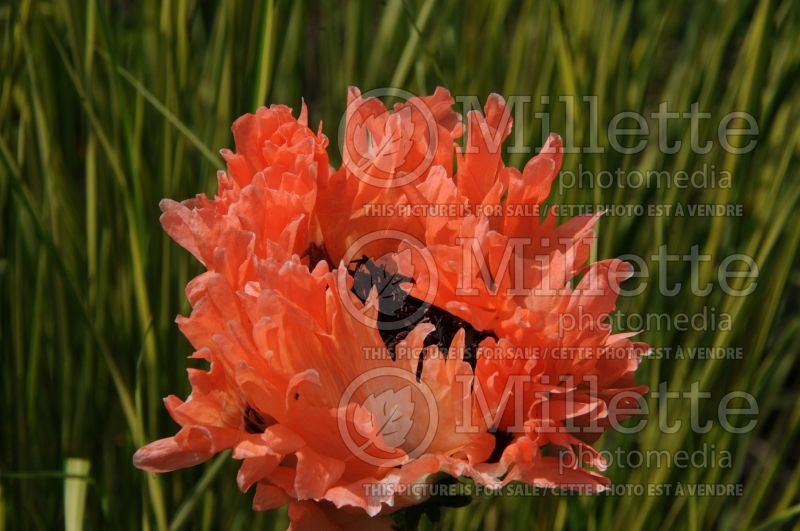 Papaver Fancy Feathers (Oriental Poppy) 3