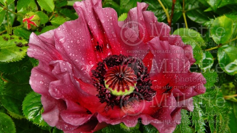 Papaver Patty's Plum (Oriental Poppy) 2