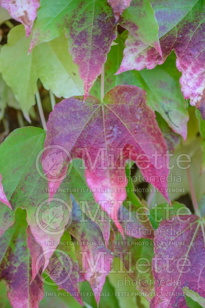 Parthenocissus Fenway Park (Virginia creeper) 1
