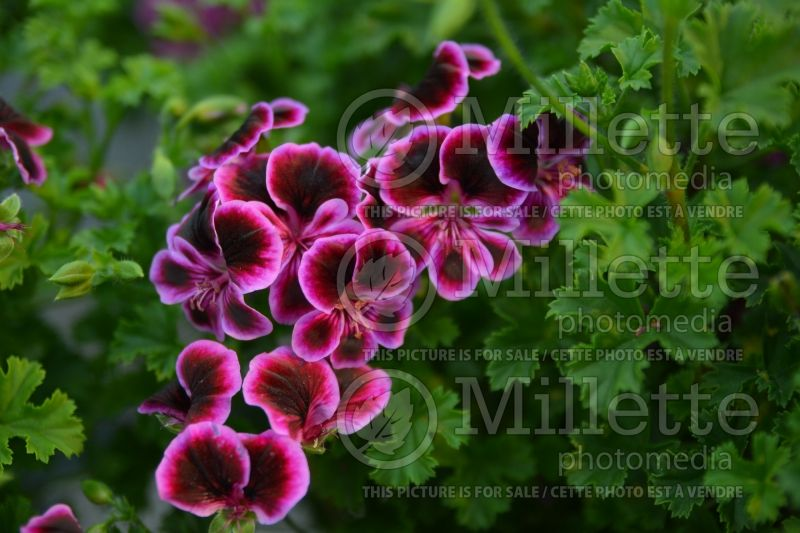 Pelargonium Angeleyes Blueberry (Pelargonium Geranium) 1