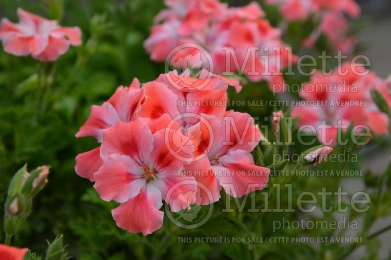 Pelargonium Candy Flowers Peach Cloud (Pelargonium Geranium) 1