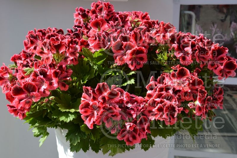 Pelargonium Elegance Red and Pink (Pelargonium Geranium) 1