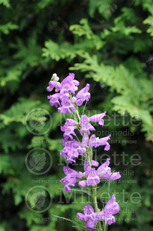 Penstemon Prairie Dusk (Beardtongue) 2