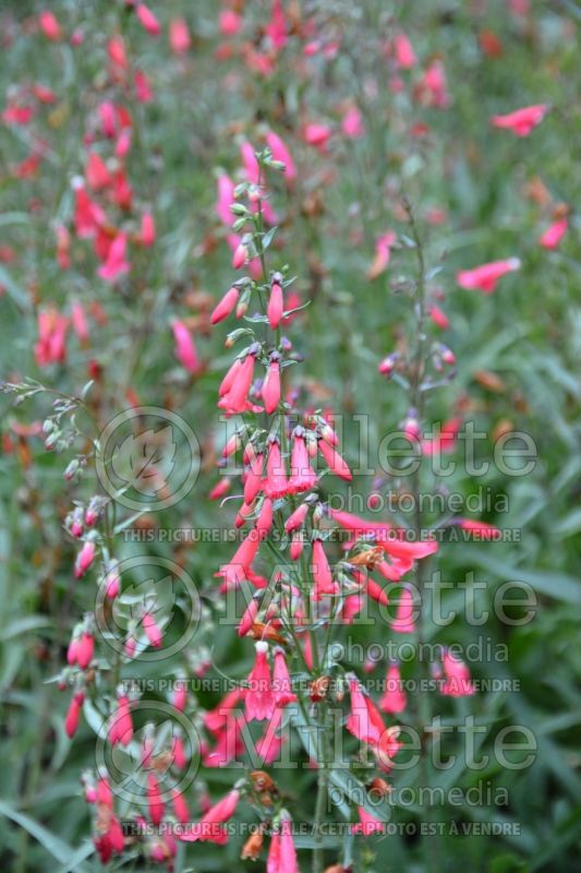 Penstemon Twizzle (Beardtongue) 1