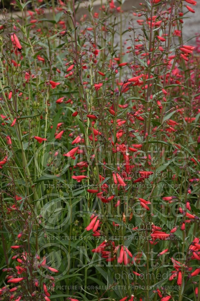 Penstemon Twizzle Scarlet (Beardtongue) 1