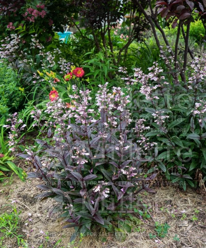 Penstemon Dark Towers (Beardtongue) 7
