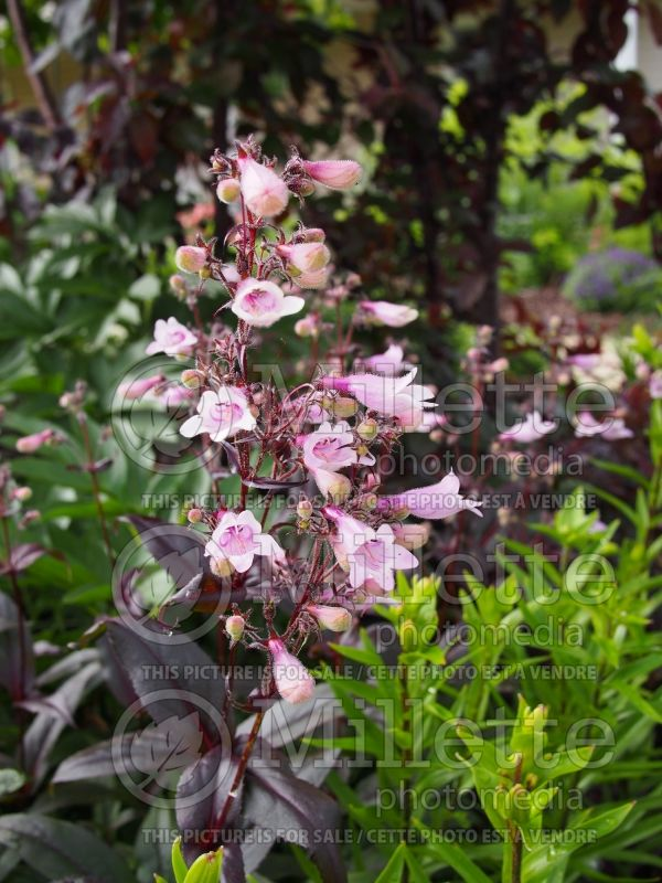 Penstemon Dark Towers (Beardtongue) 9