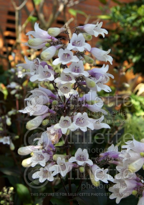 Penstemon Dark Towers (Beardtongue) 10