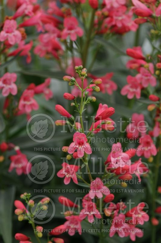 Penstemon Red Riding Hood (Beardtongue) 3