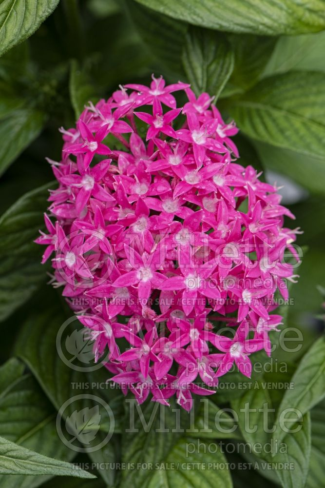Pentas Butterfly Deep Pink (Egyptian starcluster) 1