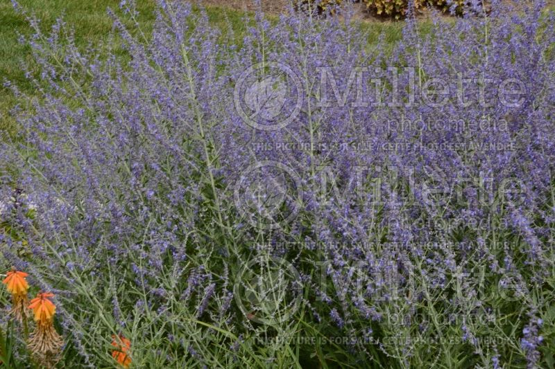 Perovskia Crazy Blue (Russian sage) 1