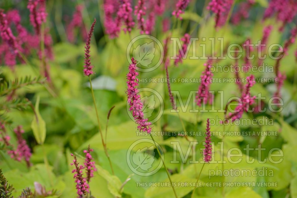 Persicaria Golden Arrow (Fleeceflower or Knotweed) 7