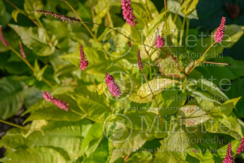 Persicaria Golden Arrow (Fleeceflower or Knotweed) 4