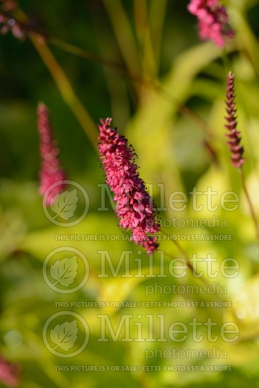 Persicaria Golden Arrow (Fleeceflower or Knotweed) 5