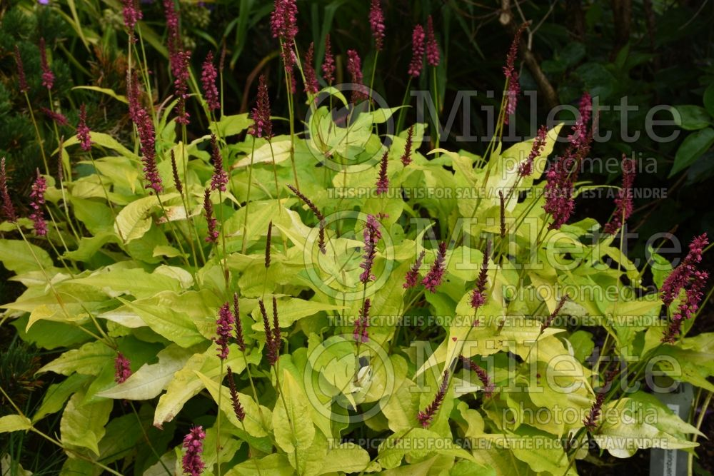 Persicaria Golden Arrow (Fleeceflower or Knotweed) 6