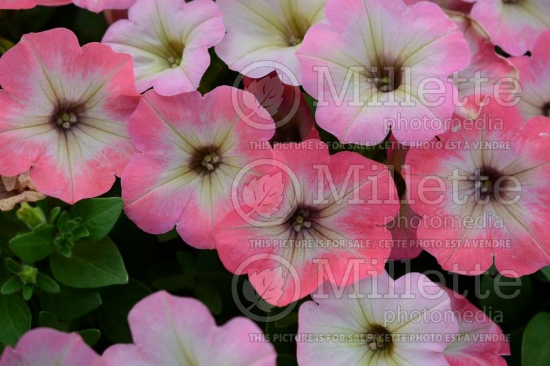 Petunia Big Deal Salmon Shimmer (Petunia)  1