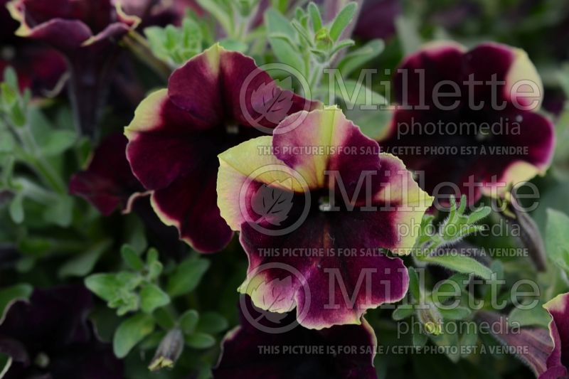 Petunia Crazytunia Blackberry Cheesecake (Petunia) 2