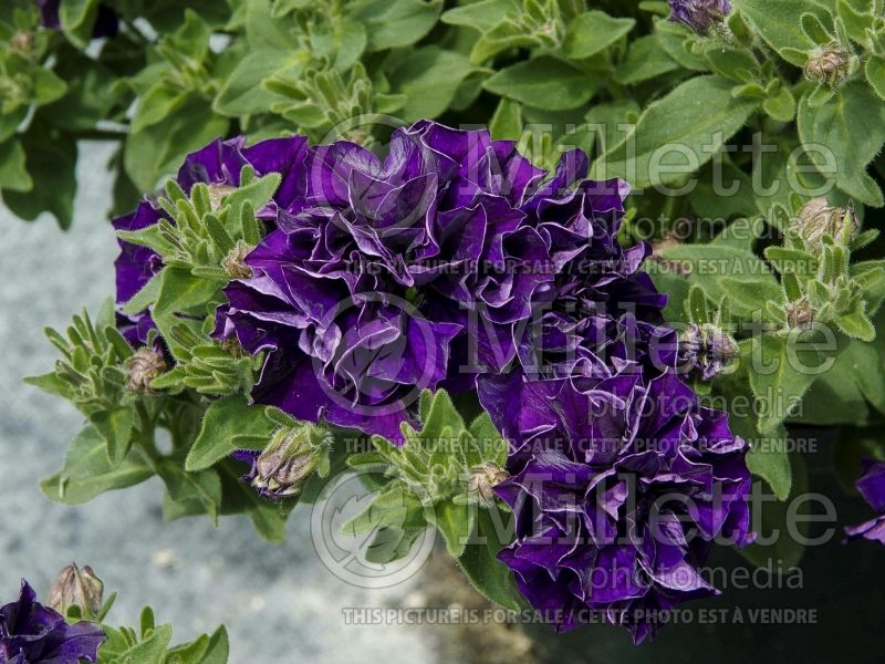 Petunia Double Wave Blue Velvet (Petunia)  1