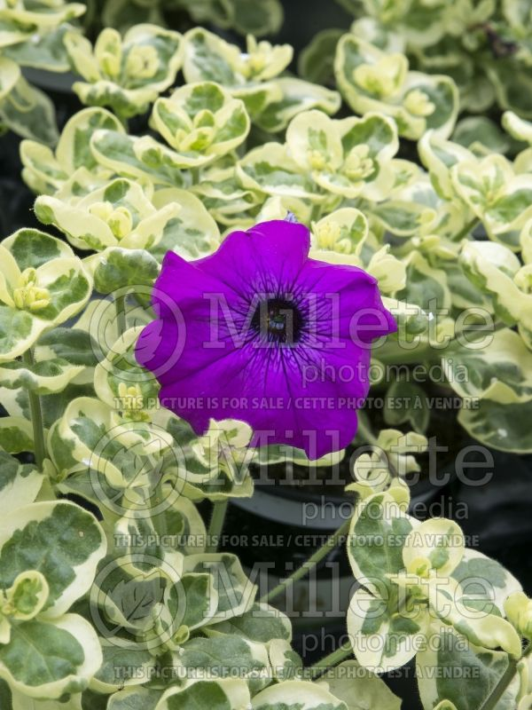 Petunia Glamouflage Grape (Petunia) 2