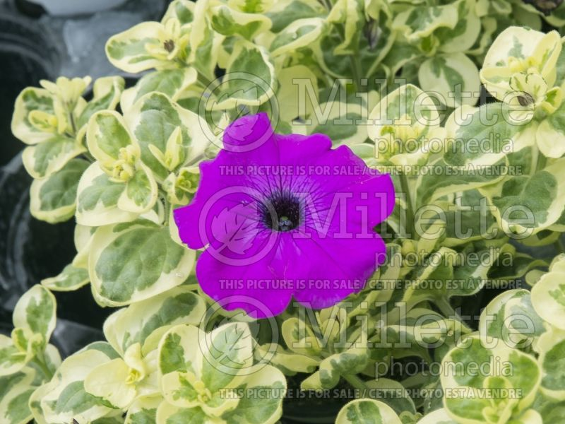 Petunia Glamouflage Grape (Petunia) 1