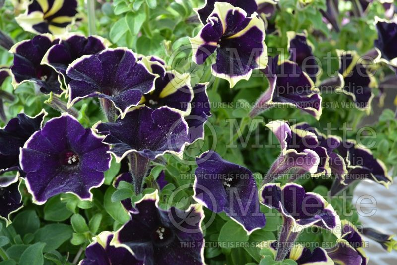 Petunia Happy Magic Giant Velvet Picotee (Petunia) 1