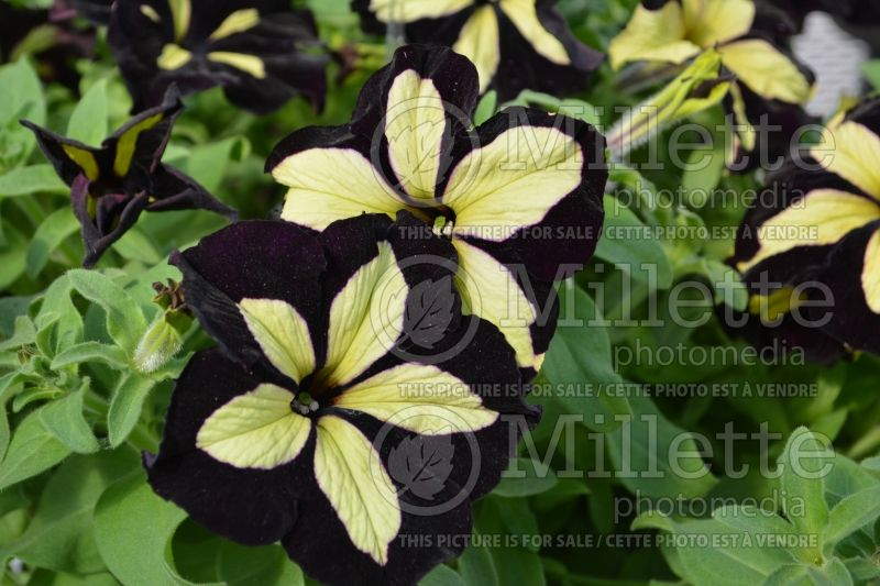 Petunia Happy Magic Giant Velvet Yellow (Petunia) 1