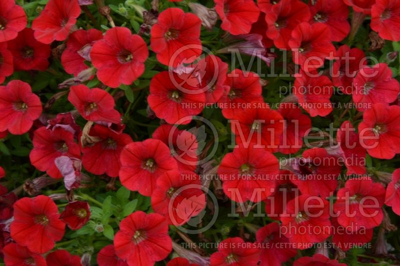Petunia Littletunia Red Fire (Petunia) 1