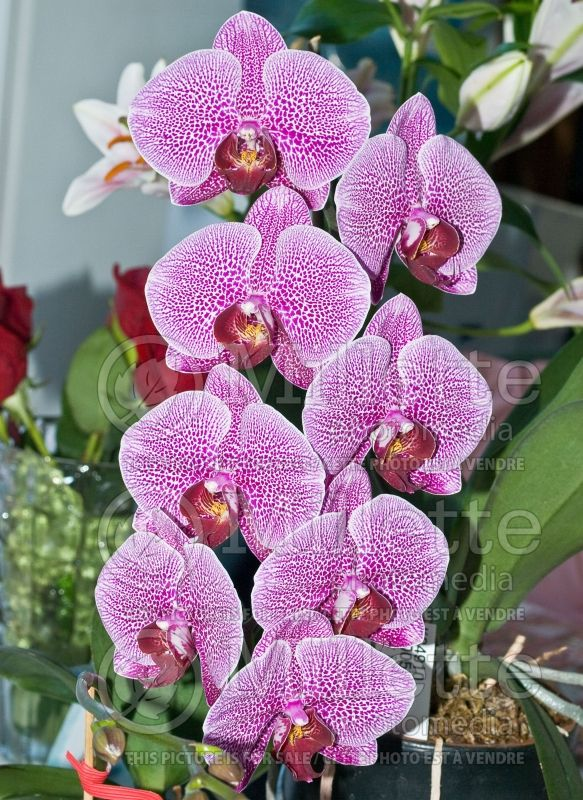 Phalaenopsis Spider Beauty (orchid) 1