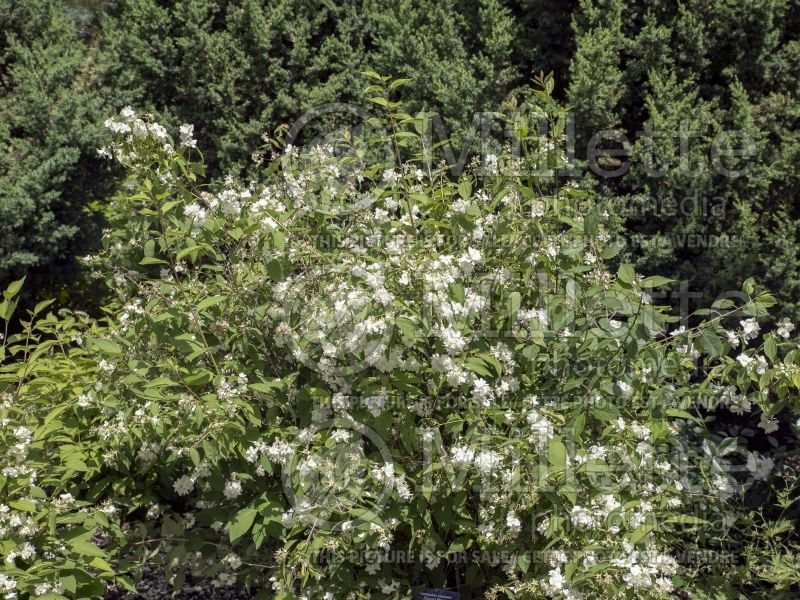 Philadelphus Bouquet Blanc (Mock orange) 1