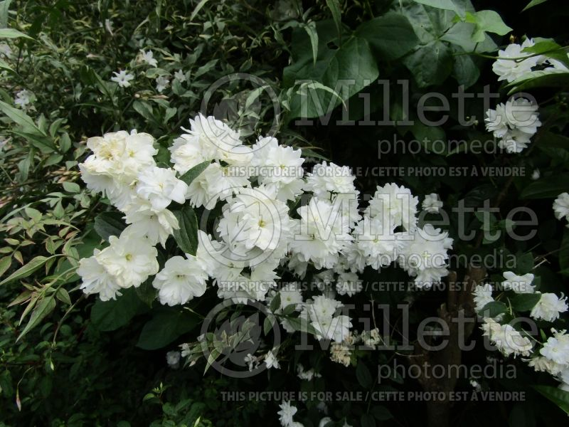 Philadelphus Frosty Morn (Mock orange) 1