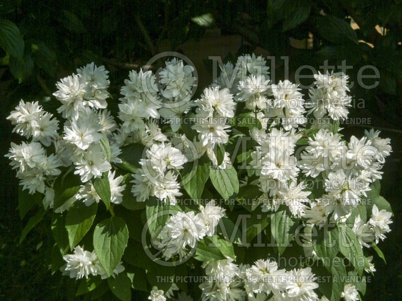 Philadelphus Minnesota Snowflake (Mock orange) 4