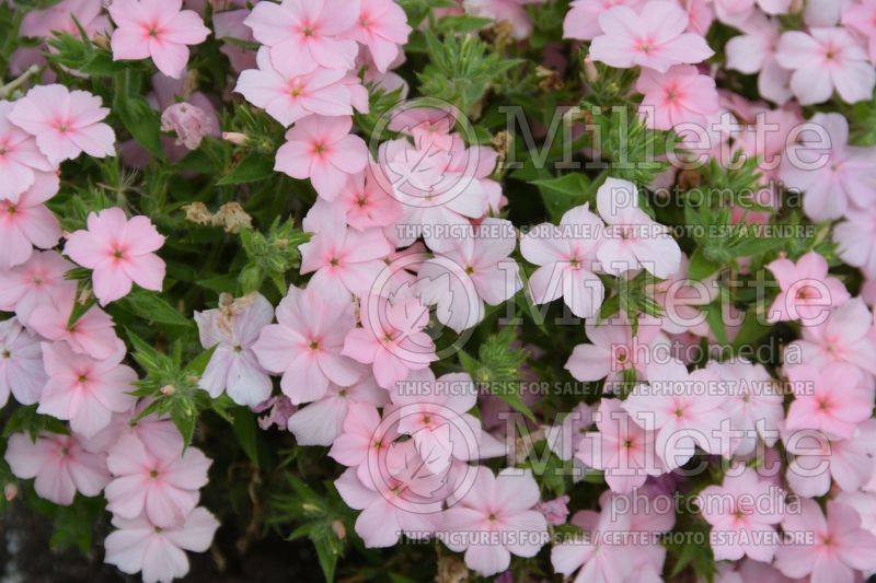 Phlox Gisele Light Pink (Phlox) 1