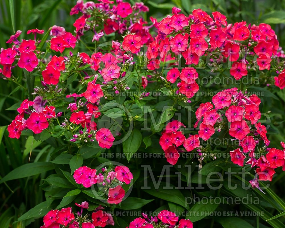 Phlox Flame Coral Red (Phlox) 2