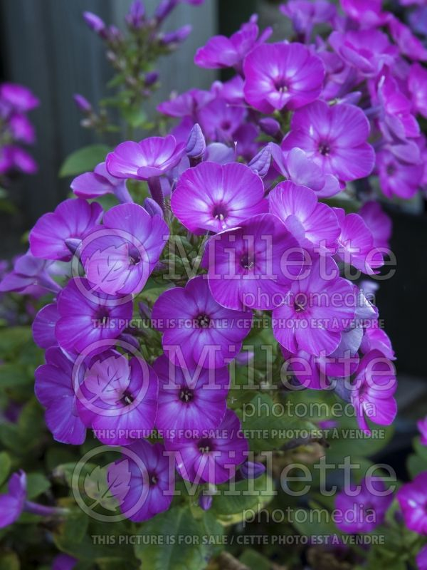 Phlox Flame Purple Eye (Phlox) 2