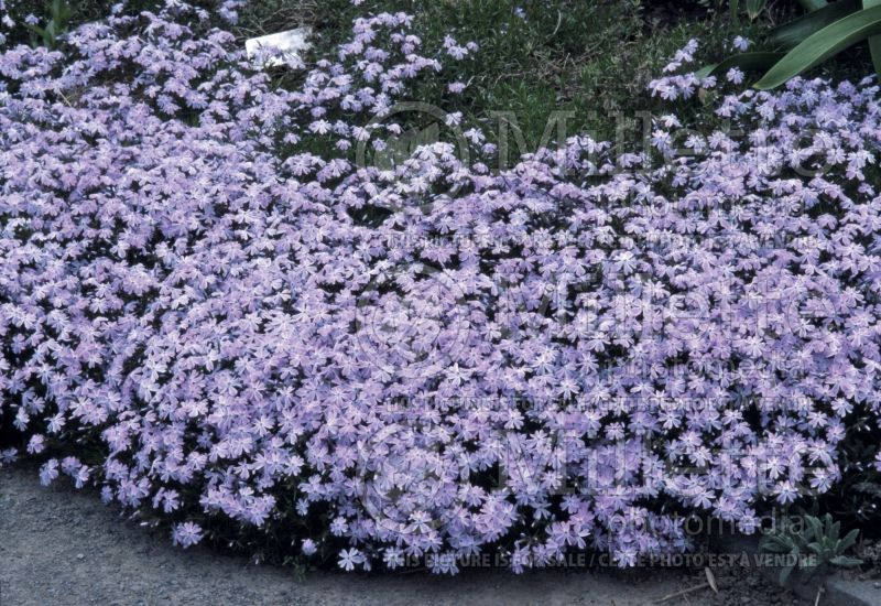 Phlox Emerald Cushion Blue (Phlox) 1