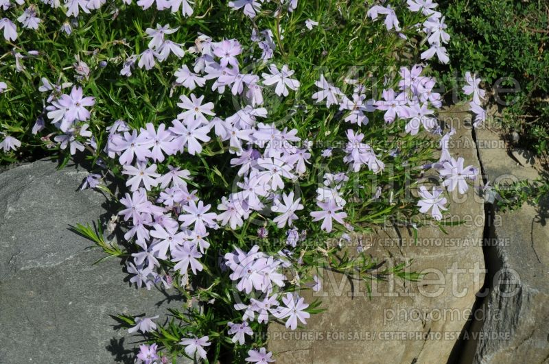 Phlox Emerald Cushion Blue (Phlox) 2