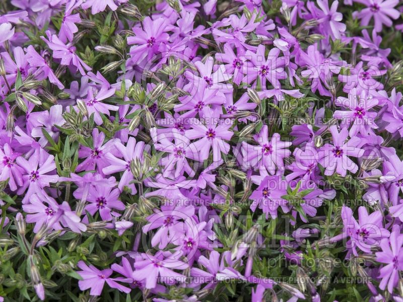Phlox North Hills (Phlox) 4