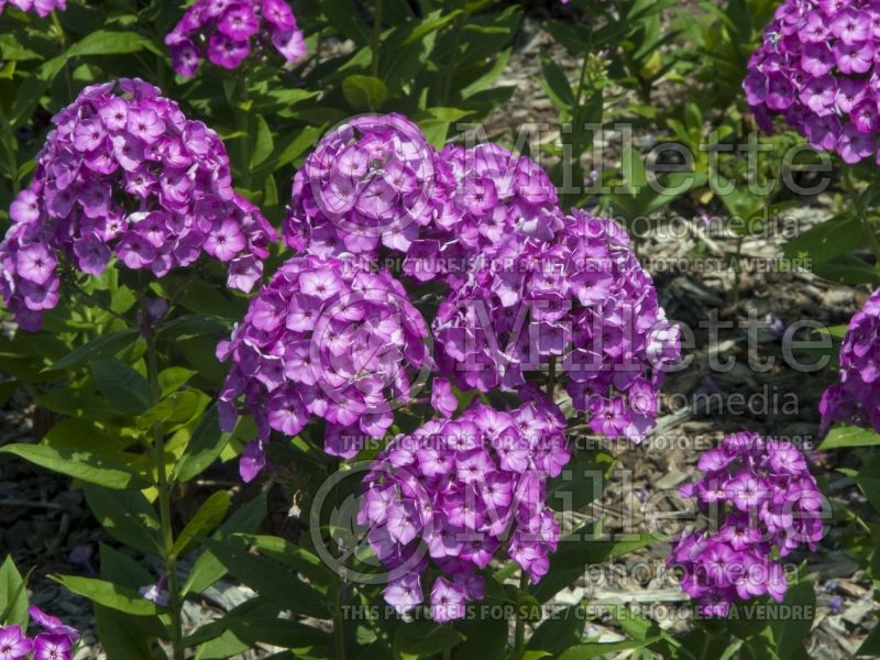 Phlox Volcano Purple White Eye (Phlox) 1