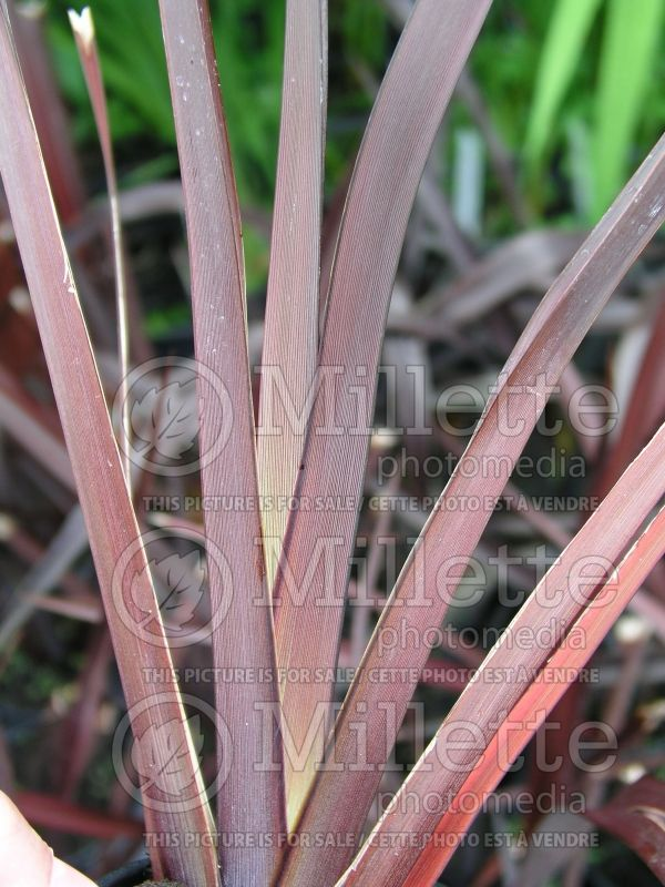 Phormium Amazing Red (New Zealand Flax) 1