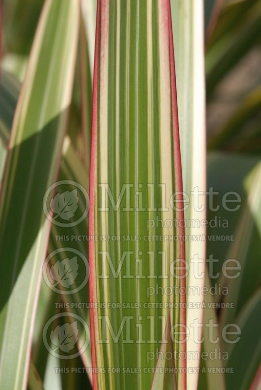 Phormium Tricolor (New Zealand Flax) 3